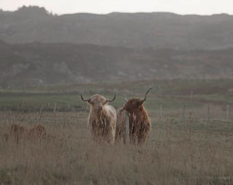 Highland Cows, Co. Donegal, Ireland Photography, Fine Art Photo
