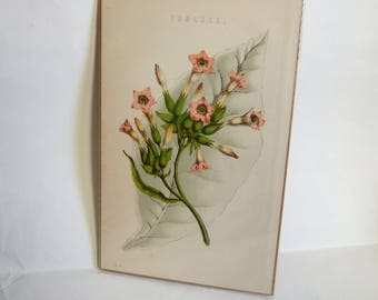Antique Botanical Print of Tobacco Plant -  Vintage Bookplate, Ideal for Framing - Gift for Smoker