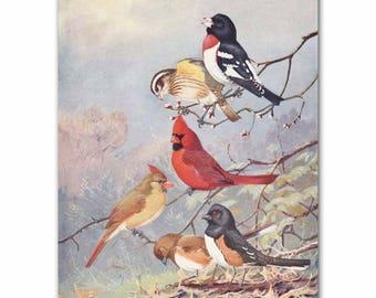 "Cardinal Art, Bird Art Print (Vintage Bird Book Plate, Home Wall Decor) --- ""Cardinal, Grosbeak & Towhee"" No. 73"