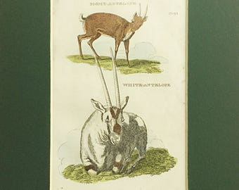 Pigmy antelope, White antelope, Antique book plate, General Zoology, Natural History, North African animal, Hand coloured copper engraving