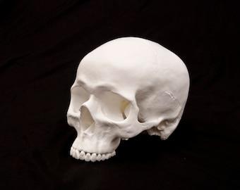 Blank Human Skull Replica, Full size