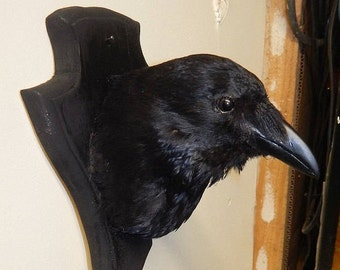 Taxidermy crow head on shield - made to order only