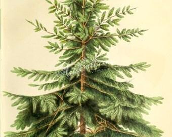 trees-00726 - Nordmann Fir or Caucasian Fir, abies nordmanniana Christmas tree green plants botanical botany wood forest vintage picture jpg