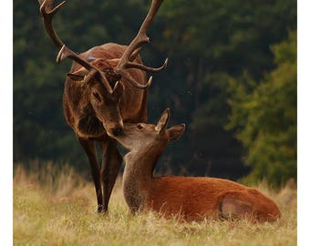 Photo print 'Red Doe and Stag'