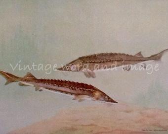 1924 Lake Sturgeon & Pike Fish Art Print Vintage Lithograph Home Office Fishermen's Decor Murayama Watercolor Plate Lake River Beach House