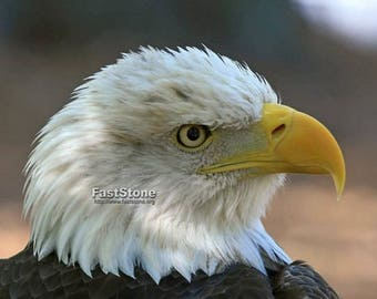 American, Bald, Eagle, photo, bird photography, wildlife photography, nature photography, home decor, wall art, free shipping, metal, shops