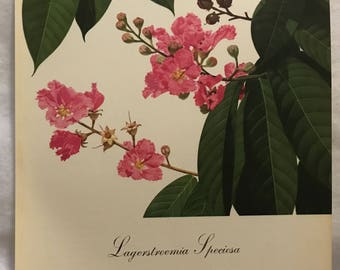 Lagerstroemia Speciosa (Queen of Flowers) Bernard & Harriet Pertchik 1951 Print from Flowering Trees of the Caribbean Alcoa Steamship