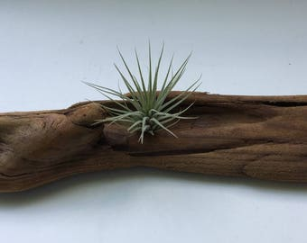Driftwood Air Plant Candle Holder (Both Included)
