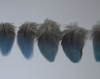 VERY RARE set of 5 feathers Blue Parrot down