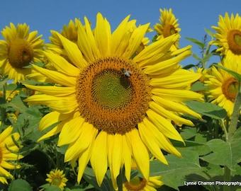 Sunflower Field III
