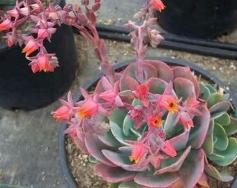 Echeveria 'Blue Sky' rare succulent