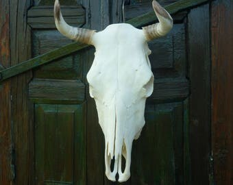 """Cow skull width 34cm (13"""") real. Curved horns cow skull for wall decor. Processed perfect whitened bull cow head skulls for decorations"""