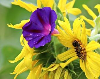 Sunflower Fields // Ijams Nature Center // Sunflower and Morning Glory