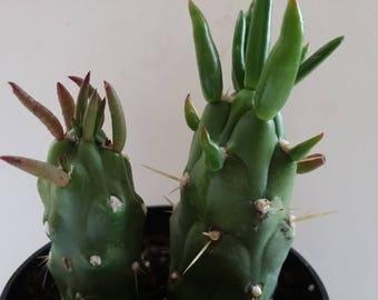 "Eve's Needle/Opuntia Subulata Cactus (3.5""pot)"