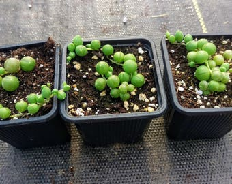 Senecio String of Pearls Succulent Rooted Cutting/Starter Plant