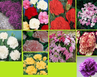 Dianthus seeds (10 variety)
