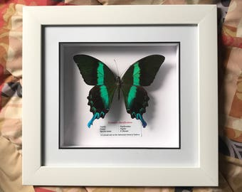 Framed butterfly taxidermy