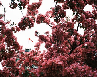 Oh Canada - Quebec, Canada, spring, pink, tree, flag, travel photography, film