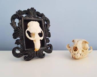 Mounted Muskrat Skull - Ornate Frame