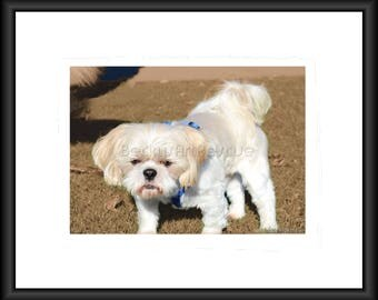 Shih Tzu, Photography, Free Shipping, Print, Framed Print, Canvas Wrap, Canvas with Floating Frame, Animal Love, Animal Photos. Wall Art