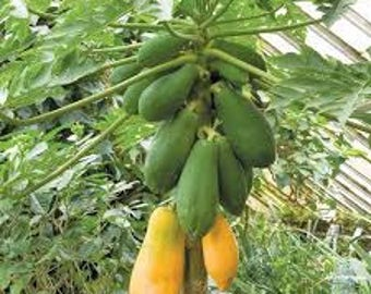 300   Seeds Carica Papaya Seeds, Papaya Pusa Nanha Seeds