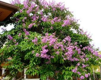100 Seeds  Lagerstroemia flos reginae, Queens Crape Myrtle, Queens flower, Pride of India,
