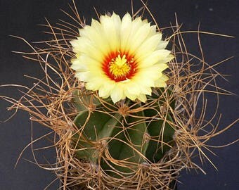 10 Astrophytum niveum Seeds