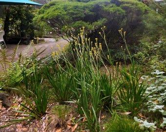 "Kangaroo Paw Yellow 1 Plants/Bulbs 8"" Tall Ship in 3"" Pot"