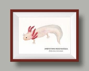 Ambystoma meksykańska, Aksolotl, Axolotl - illustration - print 13x18cm