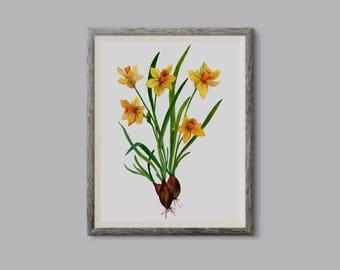 Daffodils, Żonkile (Narcissus jonquilla) - illustration 24x32cm