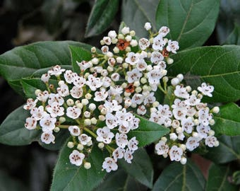 Laurustinus Viburnum   Viburnum tinus   20 Seeds