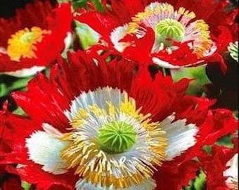 Poppy Seeds, FREE SHIPPING, Danish Flag Poppy Seeds, Rabbit Rescue Donation