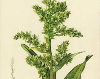 Vintage lithograph of the false helleborine, white hellebore or white veratrum from 1955