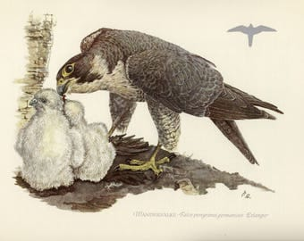 Vintage lithograph of the peregrine falcon or duck hawk from 1953