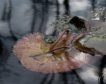 Faded lily pad
