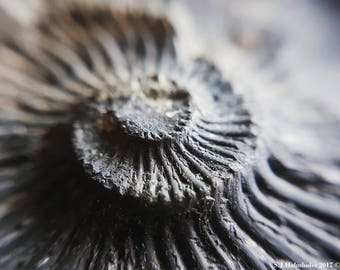 Convex Ammonite  // Photography // Fossil // Nature // Wall Art