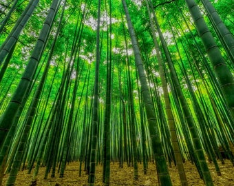 Bamboo forest, A2 sized photo.