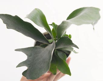 French Staghorn Fern, Indoor Plants, Unique Plant House Plant, Rare Houseplant, Wall Plant, Platycerium Lemoinei Hanging Plant Office Plant