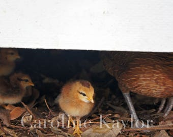 Baby Chicks in Key West 2