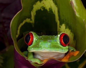 Red Eye Tree Frog (Agalychnis callidryas), Costa Rica! 20834 Frog Wall Art Home Decor Art Modern Art Frog Photo Frog Art Animal Photography