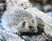 Hedgehog Blank Greetings ...