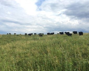 Black Angus cows grazing, grass pasture, pretty clouds