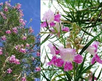 Desert Willow Tree - Set of 21x Seeds w/FREE SHIPPING! Hand Harvested from the Morongo Basin!