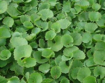 """Pennywort - Gotu Kola - Centella Asiatica (Rau Má )  3"""" Pot"""