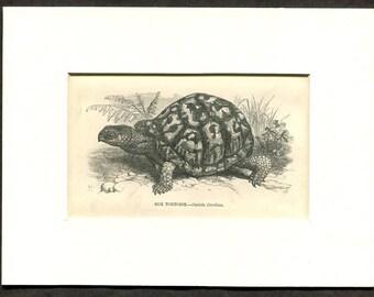 1865 Antique Print of Box Turtle
