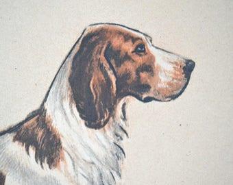 Dog engraving, original,Scottish Setter, French, 1937, vintage, brown