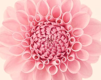 Dahlia Flower Print, Large Wall Art Print, Modern Botanical Print, Flower Photography, Girls Room Art, Nature Photography, Floral Wall Art