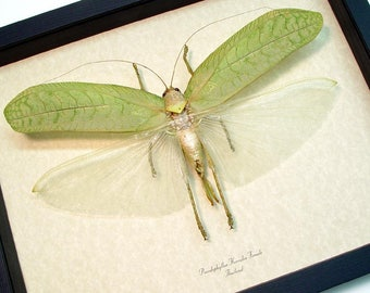 Real Framed Rare Giant Pseudophyllus Hercules Female Green Leaf Mimic Katydid 8203