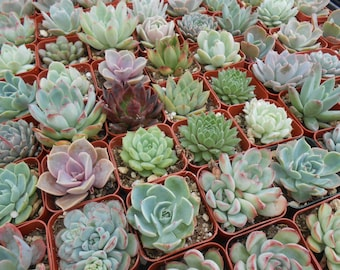 Reserved For Vicki, 120 Succulents For Favors, All Rosettes, DEPOSIT Has Been Paid,  Ship October 4
