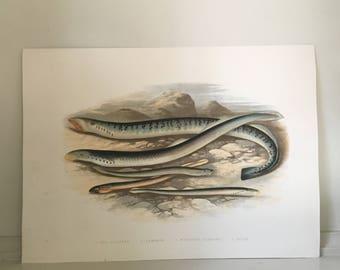 1879 lamprey fish print original antique sea life ocean marine animal print by houghton